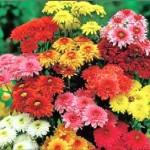 Chrysanthemum Indicum Extract