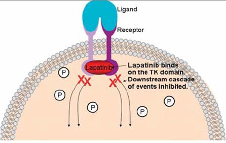 Lapatinib Breast Cancer